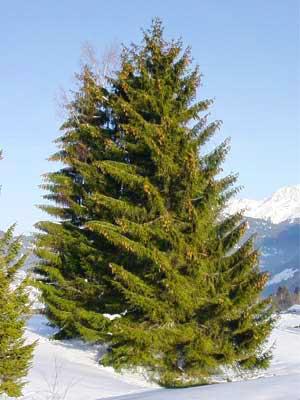 Rot-Fichte - Picea abies