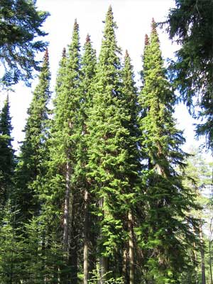 Serbische Fichte - Picea omorika