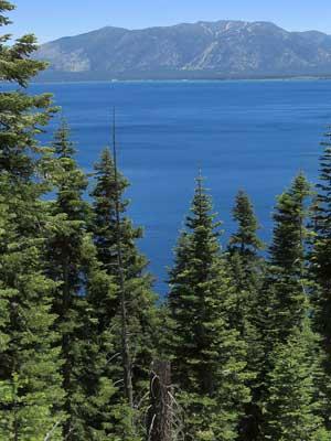 Colorado Tanne - Abies concolor