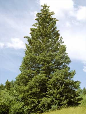 Blau-Fichte - Picea pungens