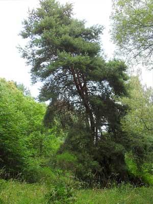 Waldkiefer - Pinus sylvestris